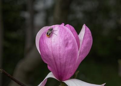 Erste Magnolie im BlüBa