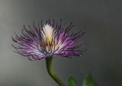 Rest einer Klematis-Blüte