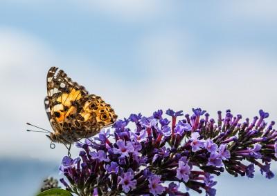 Schmetterlings-Mahlzeit
