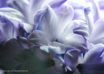 Hyazinthenblüte