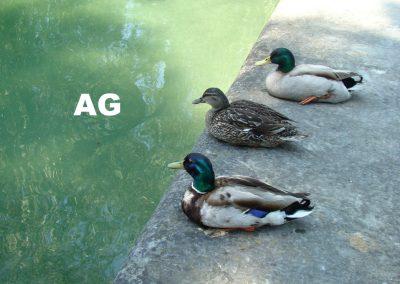 AG-Enten