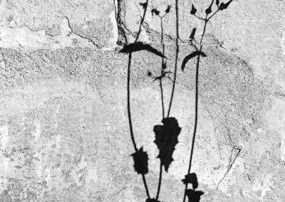 Schatten einer Gänsedistel