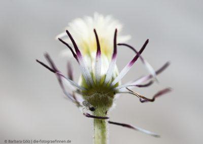 Abgeblühte Klematis-Blüte