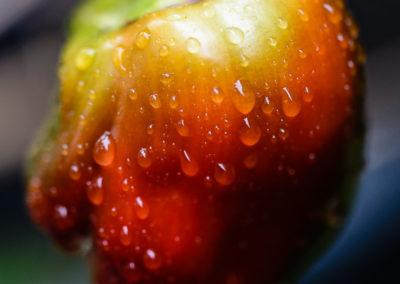 Paprika nach dem Regen
